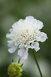 Scabiosa atropurpurea 'Snow Maiden'. Scabious