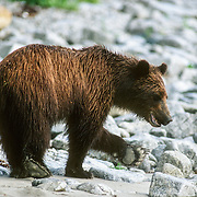 """This was a young brown bear that I encountered quite frequently at my regular camp at Point Hayes on Chichagof Island. It was often foraging on the beach for food while I was cooking on my campfire, but it would always make a wide detour around me before continuing along the beach. I always had to be on my guard against bears getting into my food, especially black bears. I usually hung all of my food high up in the trees. On one occasion I arrived at a camp too late and I just covered everything up with a tarp. I disturbed a large bear that visited my camp in the night and could feel it's heavy weight vibrating the ground when it was running. In the morning I discovered that it had """"sucked"""" all of my bananas and pears through a mesh bag that I stored them in and I eventually found my large empty jar of peanut butter cracked open like an egg and licked spotlessly clean.<br /> This bear was well behaved but on one occasion it walked right up to my tent in the forest, and sniffed the air while looking up at my food hanging in the trees. I had cut open a lemon and the pungent smell was just too much for the curiosity of the bear. I talked to it in a calm, gentle voice, as I had learned to do: I had even made a bear fall asleep once while I was setting up my tripod to photograph it. I didn't want to startle the bear too much so I just bent down slowly, picked up a small stick, and tossed it so that it hit the bear on the nose, upon which it promptly ran away."""