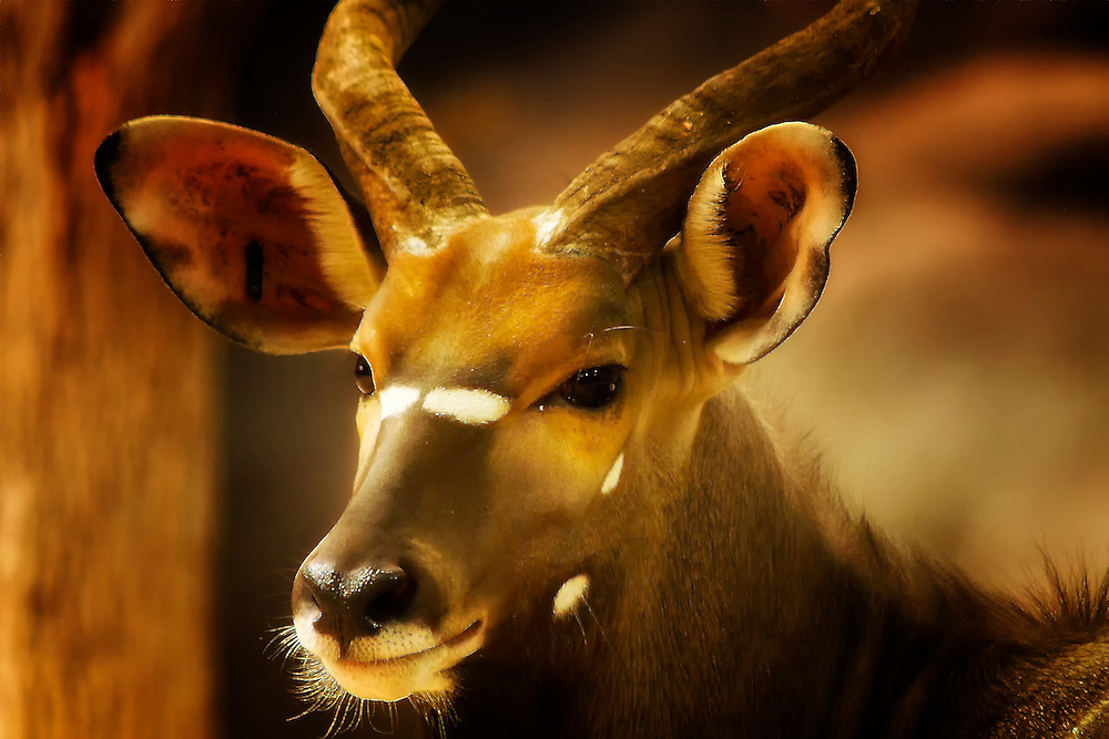 This Nyala is a beautiful spiral-horned antelope. This photo was shot at the Saint Louis Zoo. ..nyala feeds upon foliage, fruits and grasses, with adequate fresh water. It is uncomfortable in open spaces and is most often seen at water holes.