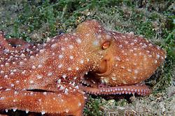 Octopus macropus, Langarmiger Krake, White spottes Octopus