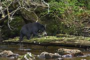 Black Bear (Ursus americanus) catching salmon- Canada