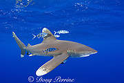 oceanic whitetip shark, Carcharhinus longimanus, with pilot fish, Naucrates ductor, Kona Coast, Hawaii Island ( the Big Island ) Hawaiian Islands ( Central Pacific Ocean )