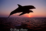Atlantic bottlenose dolphins, Tursiops truncatus, leaping out of water at sunset, Roatan, Bay Islands, Honduras ( Caribbean Sea )