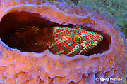 graysby ( grouper or seabass ), Cephalopholis cruentatus, rests inside azure vase sponge, Callyspongia plicifera, Gallows Reef, Belize Barrier Reef, Meso-American Barrier Reef System, Belize, Central America ( Caribbean Sea )