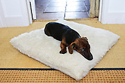 Black and tan Jack Russell terrier pedigree puppy sleeping on his bed, England, United Kingdom