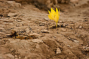 Sternbergia clusiana Fall Daffodil. This flower blooms for three weeks every year just after the first rains in November. photographed in Israel Negev desert, in November