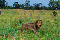 Male lion, Kwando Concession, Linyanti Marshes, Botswana.