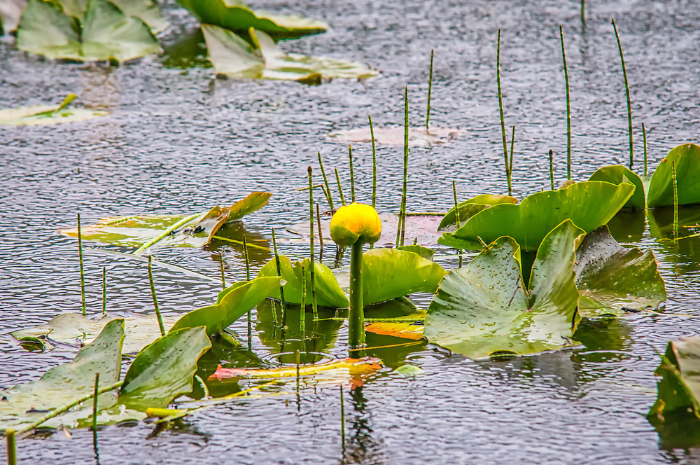 A very common aquatic wildflower found all across Western North America,  the yellow pond-lily is a type of spatterdock often confused with water lilies. This one was photographed in the sub-alpine elevations of Oregon's Mount Hood. An interesting side note is that the seeds are edible, and will pop just like popcorn!