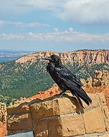 Raven at Ponderosa Point,Elevation 8904 ,Bryce Canyon National Park,Uta, USA.
