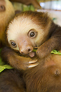 Hoffmann's Two-toed Sloth <br /> Choloepus hoffmanni<br /> Juvenile eating leaves<br /> Aviarios Sloth Sanctuary, Costa Rica<br /> *Rescued and in rehabilitation program
