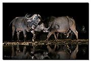 Male cape buffalos displaying. Zimanga, South Africa. Nikon D850, 24-70mm @ 42mm, f2.8, 1/200sec, ISO3200, Artificial LED-light.
