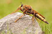 Hornet robberfly (Asilus crabroniformis). Arne, Dorset, UK.
