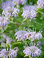 Wild bergamot ( Monarda fistulosa) attracts a bee at Schaar's Bluff Gathering Center in Spring Lake Park Reserve, Hastings MN, on Friday, July 22, 2011. The flowers are also popular with butterflies. (© 2011 Cindi Christie/Cyanpixel Photography)