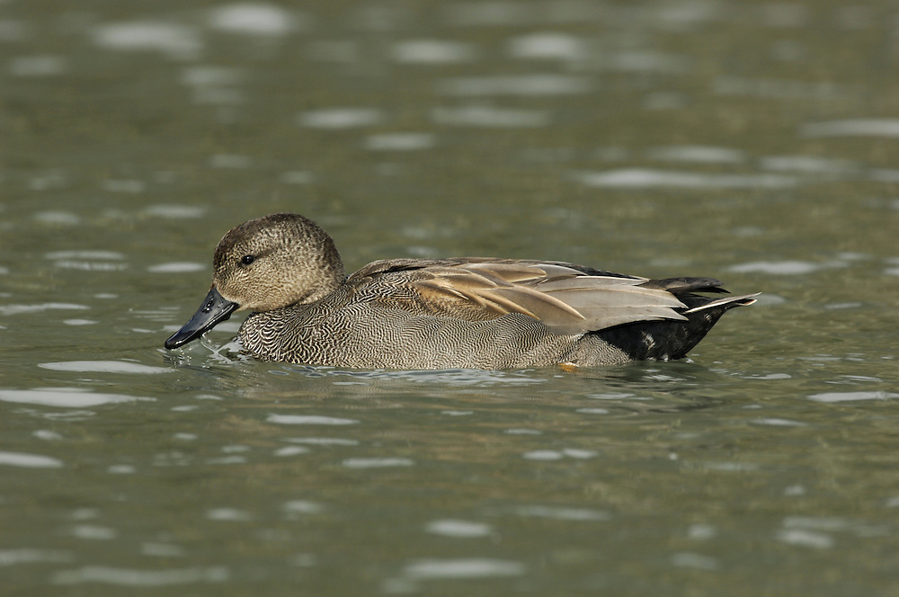 Gadwall Anas strepera L 46-55cm. Rather nondescript dabbling duck. Distant male looks grey and brown but close view reveals intricate feather patterns. In flight, both sexes show white in speculum; male also has chestnut on inner wing. Sexes are dissimilar. Adult male has buffish head and neck, with a clear separation from grey, finely-patterned breast and flanks. Centre of belly is white; black stern is useful identification feature. Has dark bill and yellow legs. In eclipse, male resembles adult female. Adult female has mottled brown plumage with greyish head and yellow bill. Juvenile resembles adult female. Voice Male utters croaking call and female utters mallard-like quack. Status Found on shallow freshwater; dabbles for water plants.
