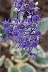 Eryngium x tripartitum 'Jade Frost'