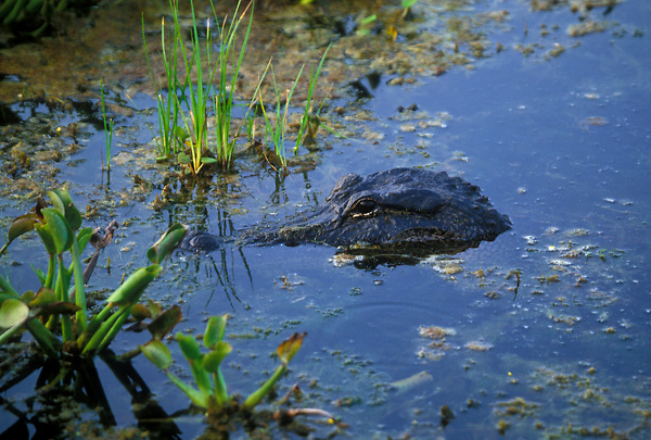 Stock photo of an American alligator (Alligator mississippiensis) slowly swimming to shore