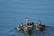 Female wood duck and ducklings as they swim away from the shore along the bank of the Chemung River in Elmira, NY.
