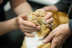Cat during a consultation at Rushcliffe Veterinary Centre, West Bridgford, Nottingham NG2 7LR.<br /> Photo: Ed Maynard<br /> 07976 239803<br /> www.edmaynard.com