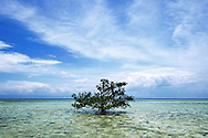 Lone mangrove tree grows in shallow waters, Panglao Reef Flat, Central Visayas,  Philippines, Southeast Asia
