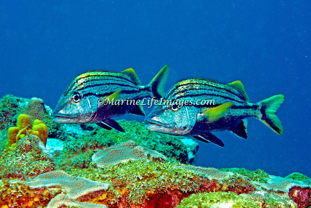Spanish Grunt inhabit reefs in Tropical West Atlantic; picture taken Tobago.