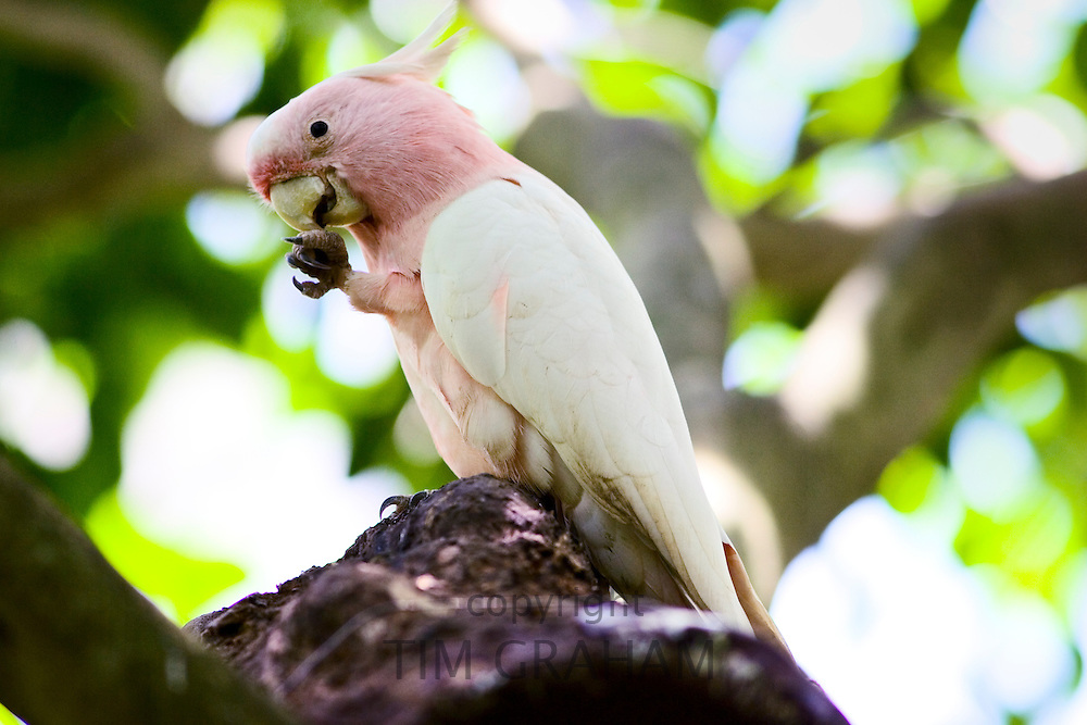 Major Mitchell Cockatoo perched on branch, Queensland, Australia