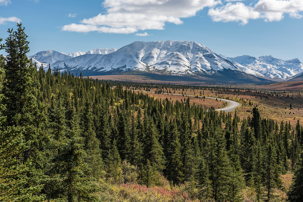 The Denali Park Road and autumn colors on willow shrubs with white pine trees east of Savage River in Denali National Park, Alaska