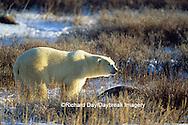 01874-10009 Polar Bear (Ursus maritimus) walking on tundra, Churchill MB