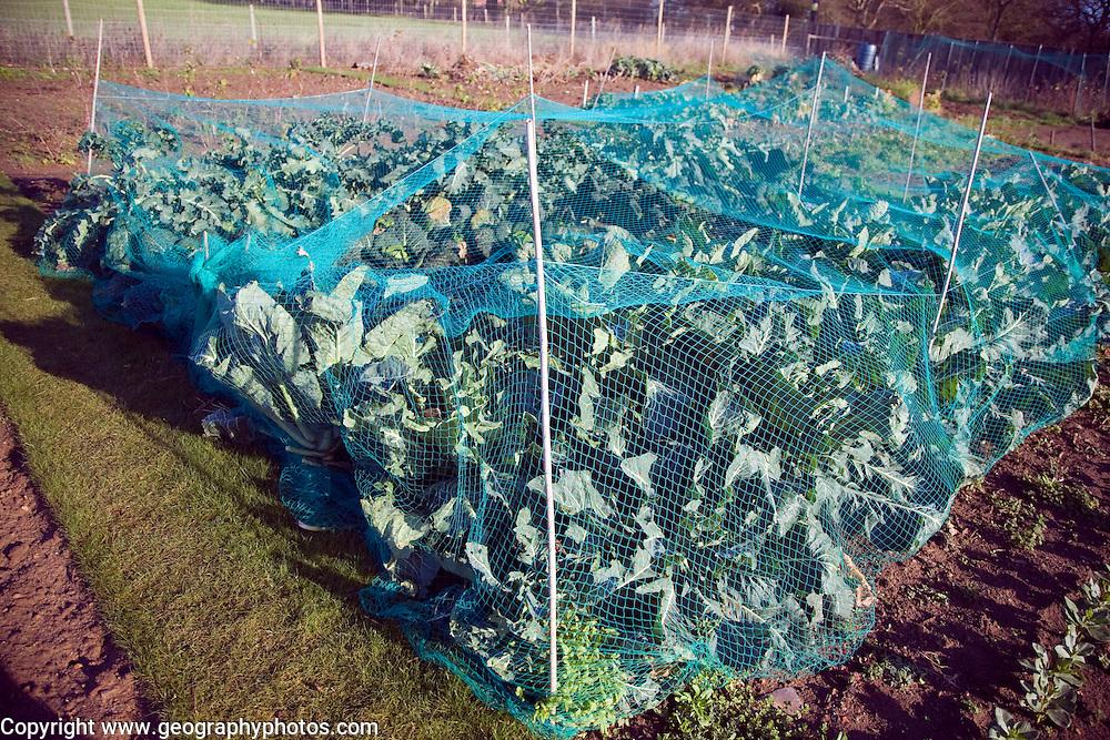 Cabbage plants growing in winter allotment gardens, Shottisham, Suffolk, England