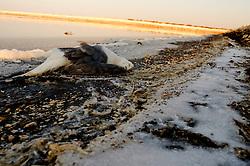 Il complesso produttivo delle saline è situato nel comune italiano di Margherita di Savoia (nome dato dagli abitanti in onore alla regina d'Italia che molto si adoperò nei confronti dei salinieri) nella provincia di Barletta-Andria-Trani in Puglia. Sono le più grandi d'Europa e le seconde nel mondo, in grado di produrre circa la metà del sale marino nazionale (500.000 di tonnellate annue).All'interno dei suoi bacini si sono insediate popolazioni di uccelli migratori e non, divenuti stanziali quali il fenicottero rosa, airone cenerino, garzetta, avocetta, cavaliere d'Italia, chiurlo, chiurlotello, fischione, volpoca..Una carogna di un gabbiano sulla riva di un bacino.