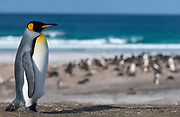 King penguin (Aptenodytes patagonicus patagonicus) from The Neck, Saunders Island, the Falklands.