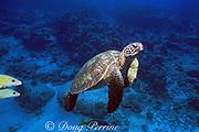 green sea turtle, Chelonia mydas, Kona, Hawaii ( the Big Island ), USA ( Pacific Ocean )
