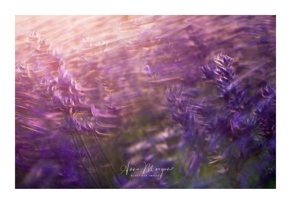 purple lavender flowers swaying in a gentle breeze at sunset on a summer's evening