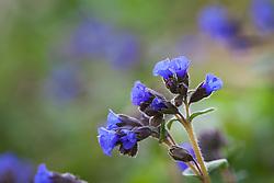 Pulmonaria 'Blue Ensign'. Lungwort