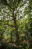 oak tree in the Wahner Heath on Telegraphen hill, Troisdorf, North Rhine-Westphalia, Germany.<br /> <br /> Eiche in der Wahner Heide am Telegraphenberg, Troisdorf, Nordrhein-Westfalen, Deutschland.