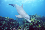 Honey, a wild sociable bottlenose dolphin, Tursiops truncatus, swims over a shallow coral reef at Lighthouse Reef Atoll, Belize ( Caribbean Sea )