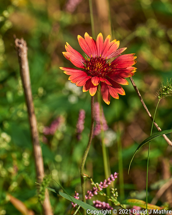 Blanket Flower. Image taken with a Leica SL2  camera and 24-90 mm lens.