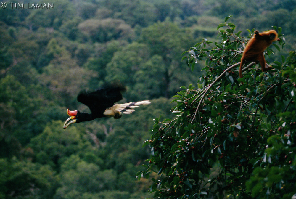 A Rhinoceros Hornbill holding a fig, flies past a Red Leaf Monkey feeding in the wild fig tree (Ficus dubia) in the rain forest canopy in Borneo.  The Rhinoceros Hornbill is an Endangered Species (IUCN Red List: NT)