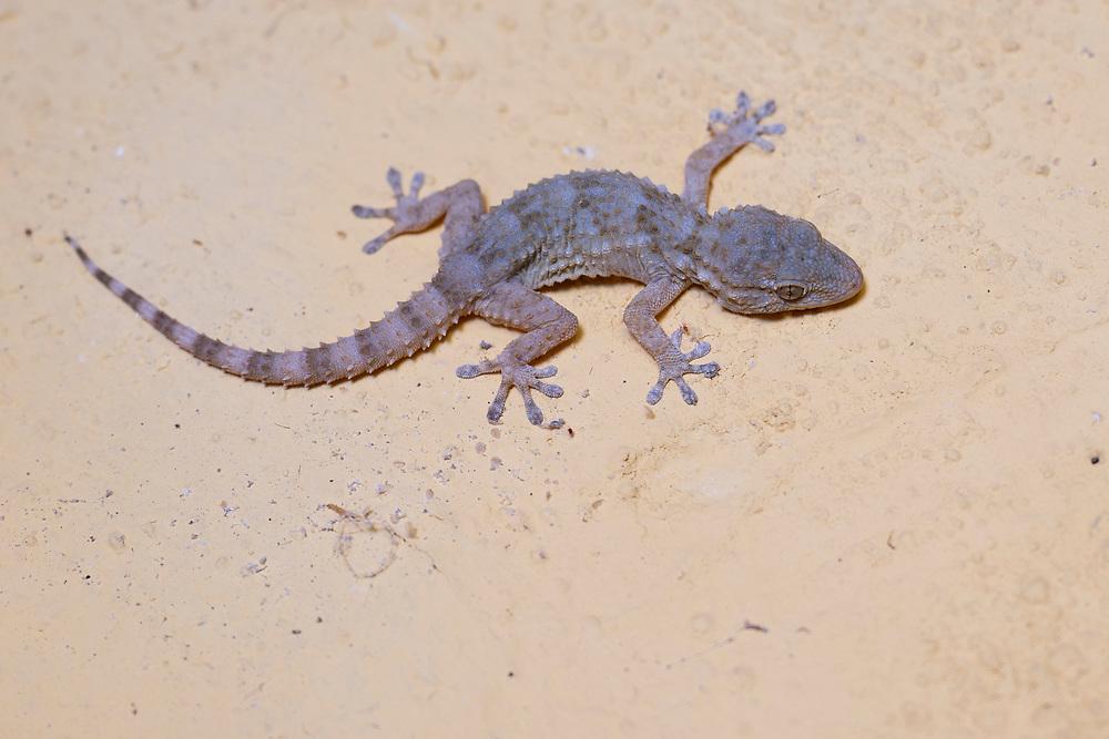 European common gecko or Wall gecko or Moorish gecko or Salamanquesa, Tarentola mauritanica, Parque Natural Sierra de Andujar, Andalucia, Spain