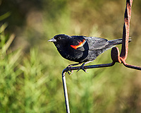 Red-winged Blackbird (Agelaius phoeniceus). Campos Viejos, Texas. Image taken with a Nikon D4 camera and 500 mm f/4 VR lens.