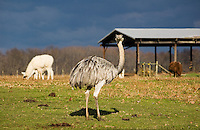 An ostrich and a couple of llamas reside at a farm in Monroeville, NJ.
