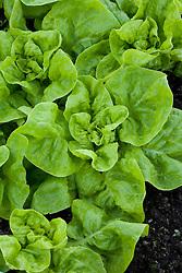Butterhead lettuce 'Unico'