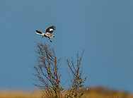 Great Grey Shrike - Lanius excubitor