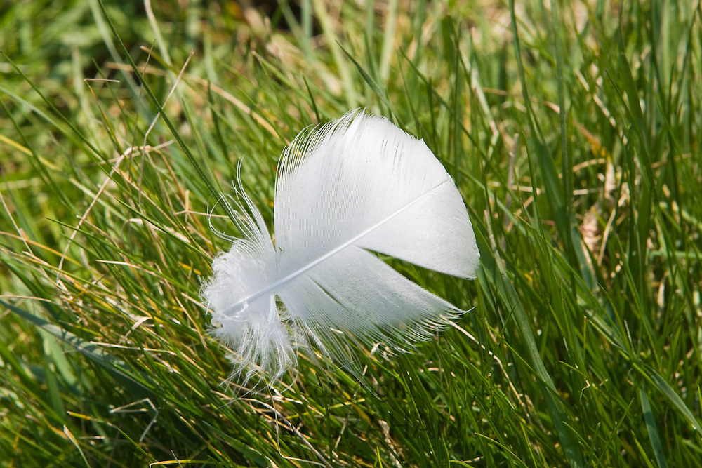 Feather from a mute swan discarded on grass, Donnington, Gloucestershire, United Kingdom