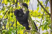 A juvenile mountain gorilla (Gorilla beringei beringei) sitting and playing in a tree,Bwindi Impenetrable Forest, Uganda, Africa