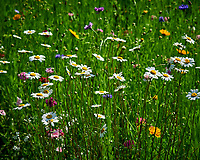 Wildflower Meadow. Image taken with a Nikon D810a camera and 105 mm f/1.4 lens
