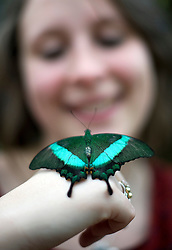 © Licensed to London News Pictures. 25/01/2012. Woking, UK.  RHS Garden worker Samantha Bevington poses with an Emerald Swallowtail butterfly  at a photo call for 'Butterflies in the Glasshouse' at RHS Garden Wisley in Woking, Surrey on January 25th, 2012. For four weeks the greenhouse at RHS Wisley is transformed by over one thousand colourful butterflies which only live for a few weeks. Photo credit : Ben Cawthra/LNP
