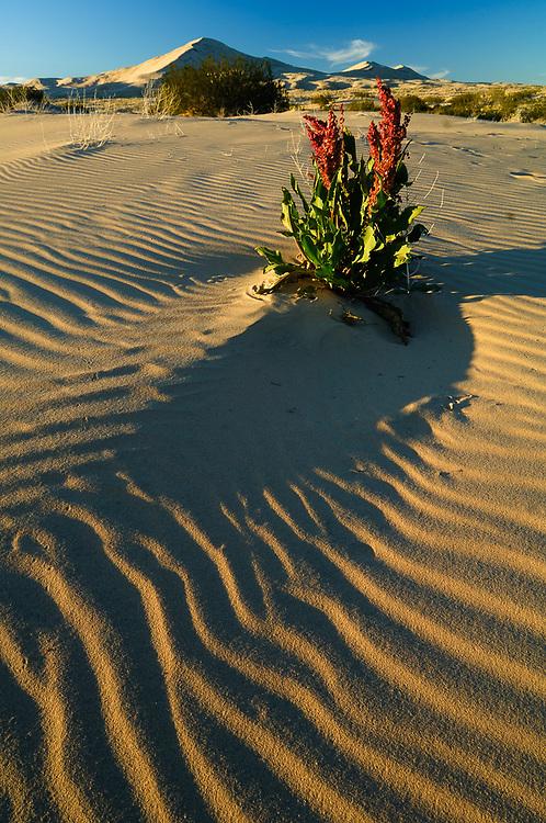 Sand dock (Rumex hymenosepalus), morning light, April, Kelso Dunes, Mojave National Preserve, San Bernardino County, California, USA