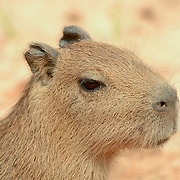 Capybara (Hydrochaeris hydrochaeris) Largest rodent in the world. Close up of young. Pantanal. Brazil.