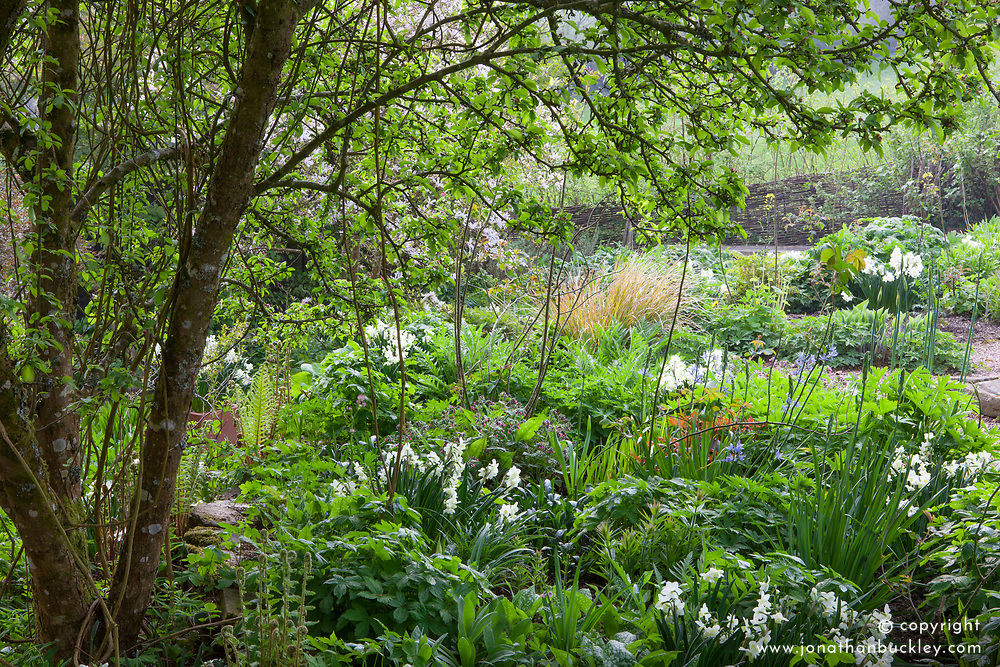 View from under the crab apple at Glebe Cottage in spring. Narcissus 'Silver Chimes' in the borders
