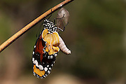 butterfly (Danaus chrysippus), African Monarch or common tiger butterfly emerging from its cocoon (centre). This butterfly is found in Africa, India, south-eastern Asia, and Australia. Photographed in Israel, in July
